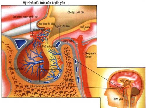 ><figcaption></figcaption></figure></div><ul><li>Do tia xạ:<span>Suy tuyến yên đã được thông báo ở những bệnh nhân tia xạ điều trị ung thư vòm, điều trị các khối u tuyến yên và khối u cạnh tuyến yên.</span></li><li>Do di truyền: Hội chứng Kallmann</li><ul><li><span>Hội chứng Sheehan: suy tuyến yên do mất máu cấp tính hậu sản nặng có tụt áp hoặc sốc gây thiếu máu hoại tử thuỳ trước tuyến yên là nguyên nhân thường gặp của suy tuyến yên ở các nước đang phát triển, đặc biệt là nguyên nhân thường gặp ở Việt Nam.</span></li><li>Đột quỵ tuyến yên: Đột quỵ tuyến yên do nhồi máu hoặc xuất huyết tự nhiên ở khối u tuyến yên với một bệnh cảnh tối cấp: Nhức đầu dữ dội, nhìn không rõ, liệt mắt, hội chứng màng não và rối loạn ý thức. Có thể xảy ra suy tuyến yên cấp.</li></ul><li>Các nguyên nhân khác</li><ul><li>Bệnh tự miễn: viêm tuyến yên thâm nhiễm lympho.</li><li>Do chấn thương sọ não (sau tai nạn giao thông), xuất huyết dưới nhện.</li><li><span>Dị dạng: Hội chứng hố yên rỗng, thiểu sản tuyến yên.</span></li><li>Nhiễm khuẩn: Apxe, viêm màng não, viêm não, lao.</li><li>Một sỗ trường hợp không rõ căn nguyên.</li></ul></ul></div></div><div class=