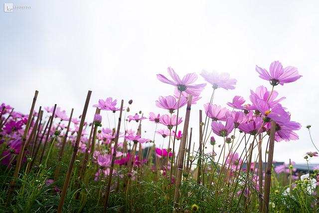 Khoa Nguyen-flower purple.jpg