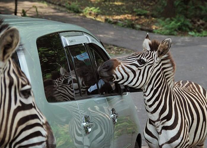 Tiket Badak Taman Safari Indonesia Prigen Di Jawa Timur