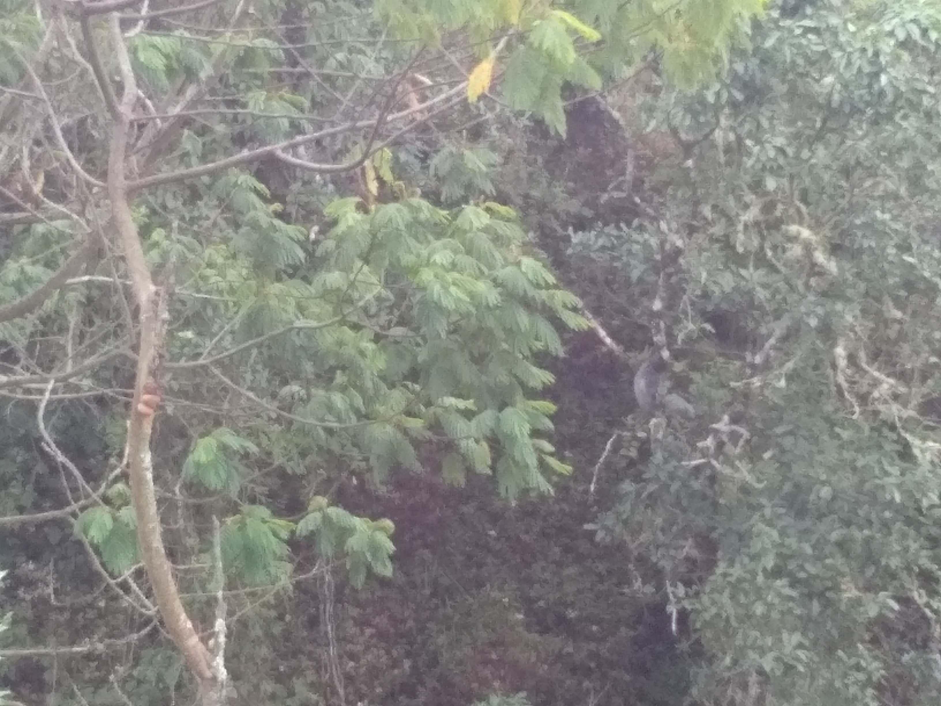 Surili Jawa (Presbytis comata) sedang menikmati pemandangan Cikurai (Foto oleh : @afvendiant)