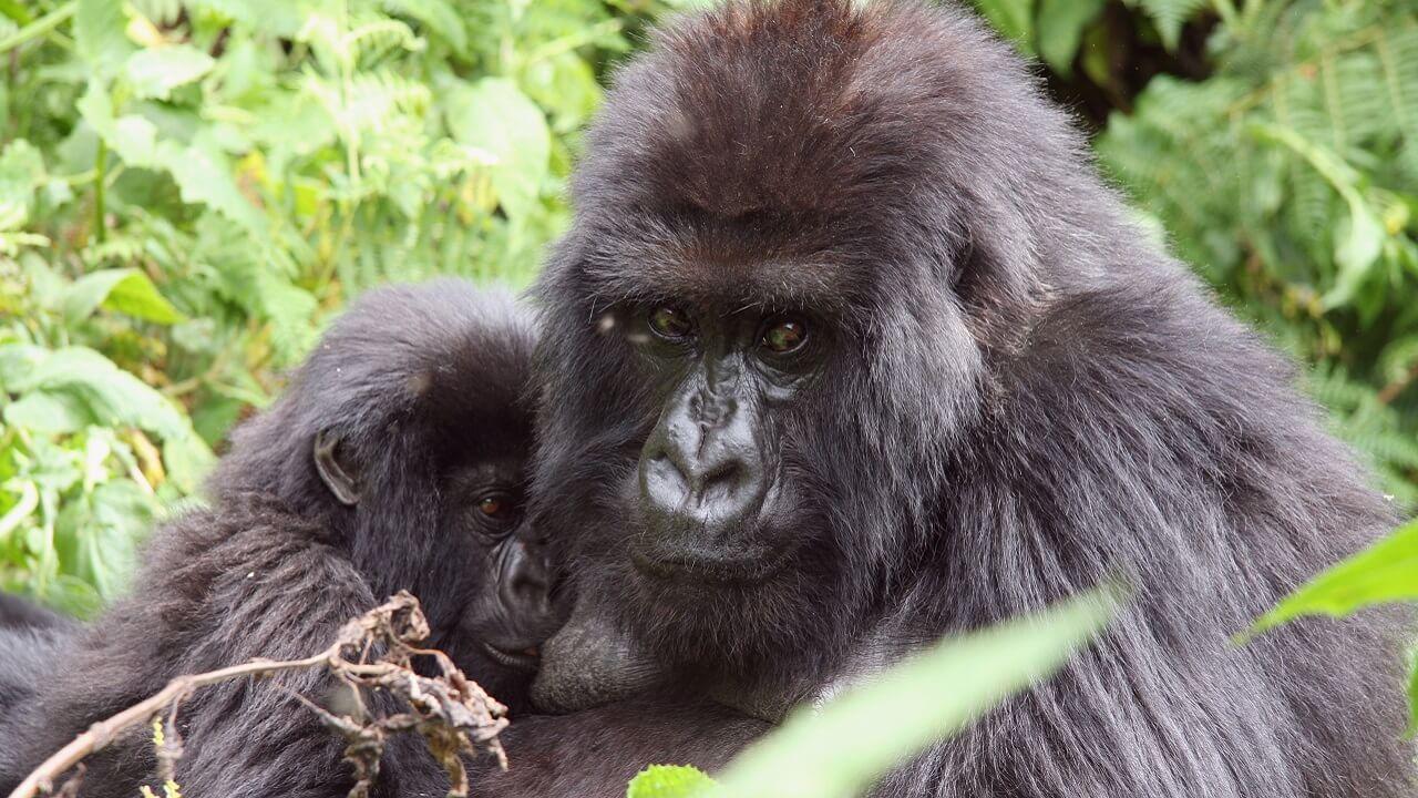 Gorillas in Ugnda tour operator
