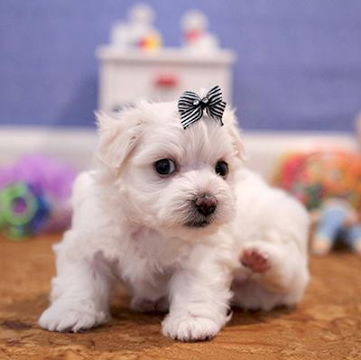 Two Beautiful Male and Female White Maltese Puppies For Sale