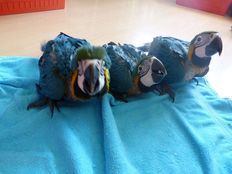 Baby Hyacinth Macaw and Adult Macaw birds.