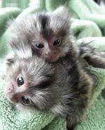 Baby marmoset monkeys for adoption.