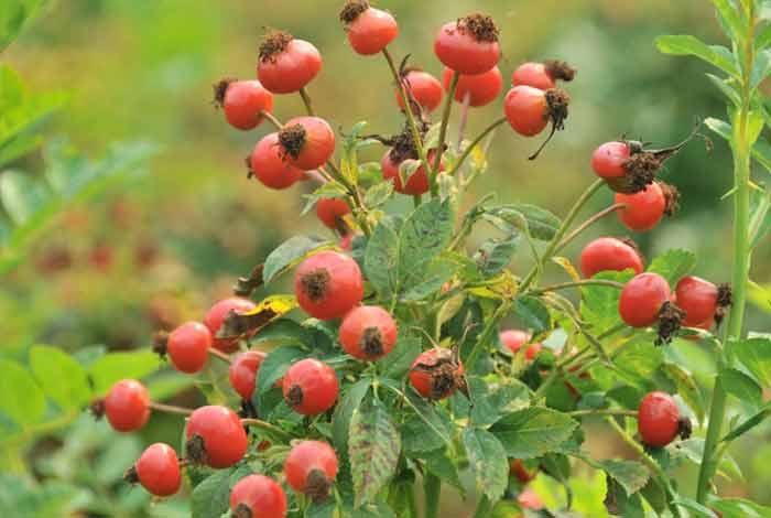 Rose Hips – A Wonderful Source of Vitamin C
